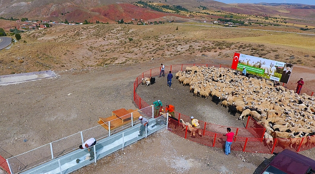 Çankaya'da 440 Koyunu İki Yılda Bin 153 Oldu