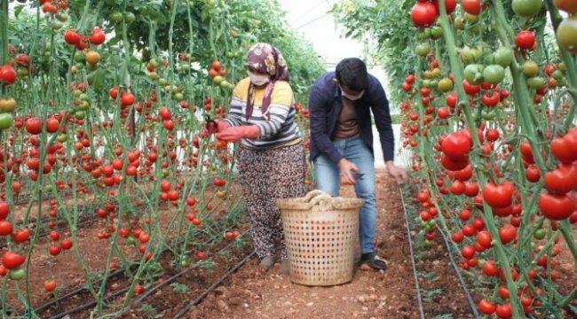 Fedakar üreticiler, pandemide mutfaklar için domates topluyor