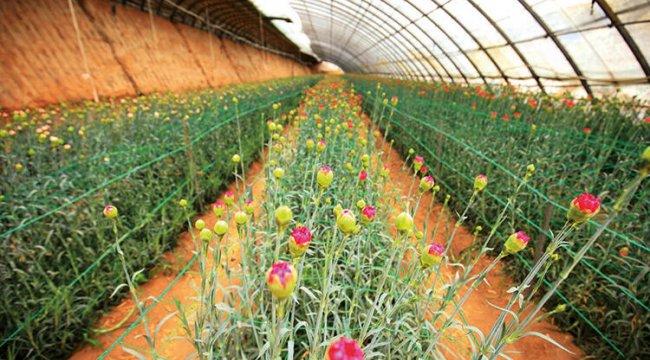 Çiçek üretiminde zirve karanfilin